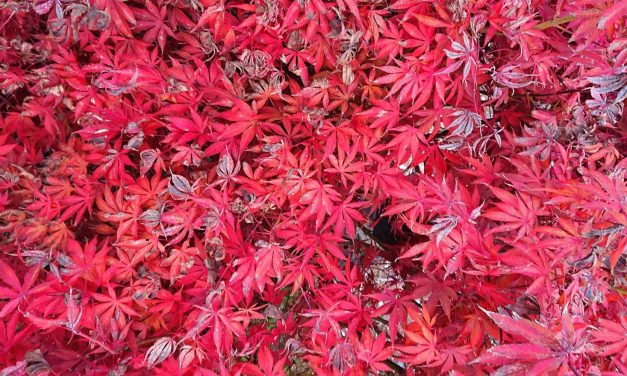 Natural Dyeing with Japanese Maple Leaves: Notes from a First-timer